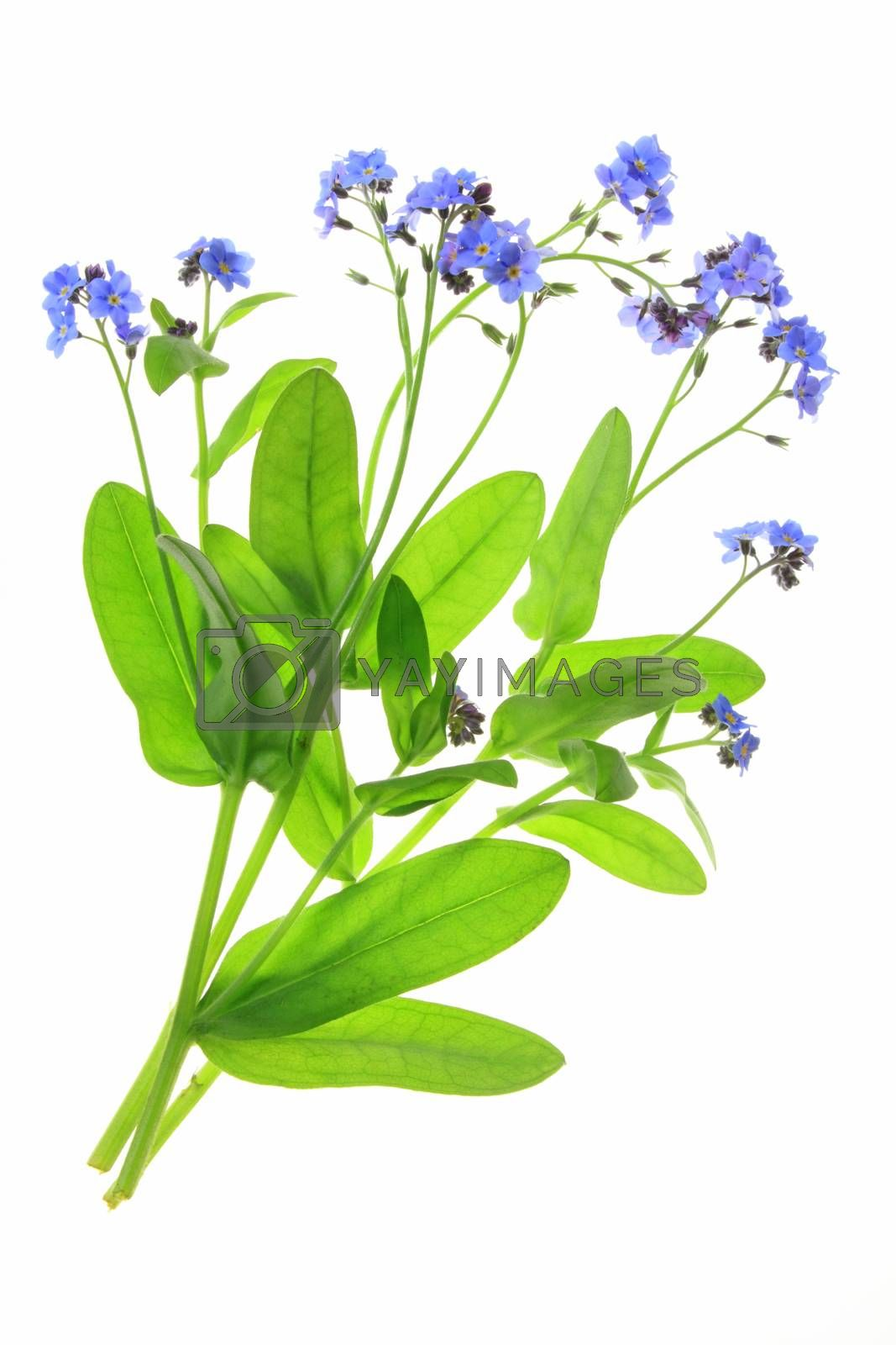 Royalty free image of Forget-me-not by jopelka