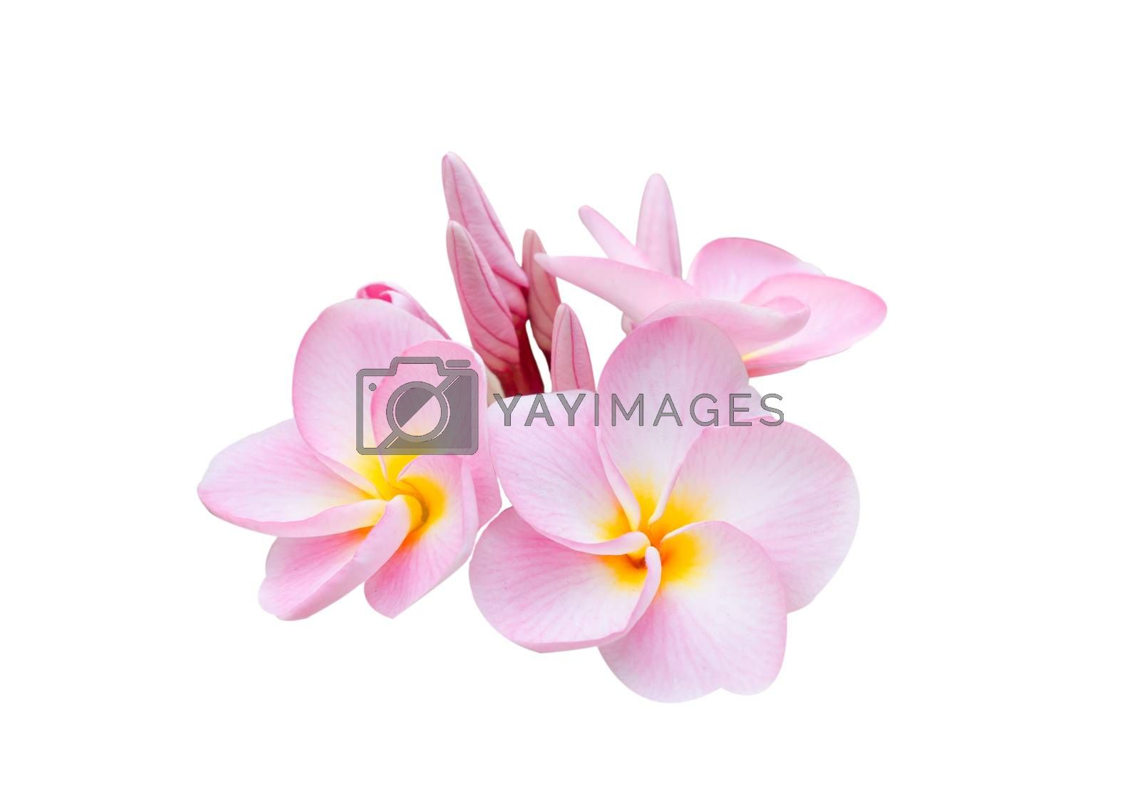 Royalty free image of Pumeria,  on white background by rakratchada