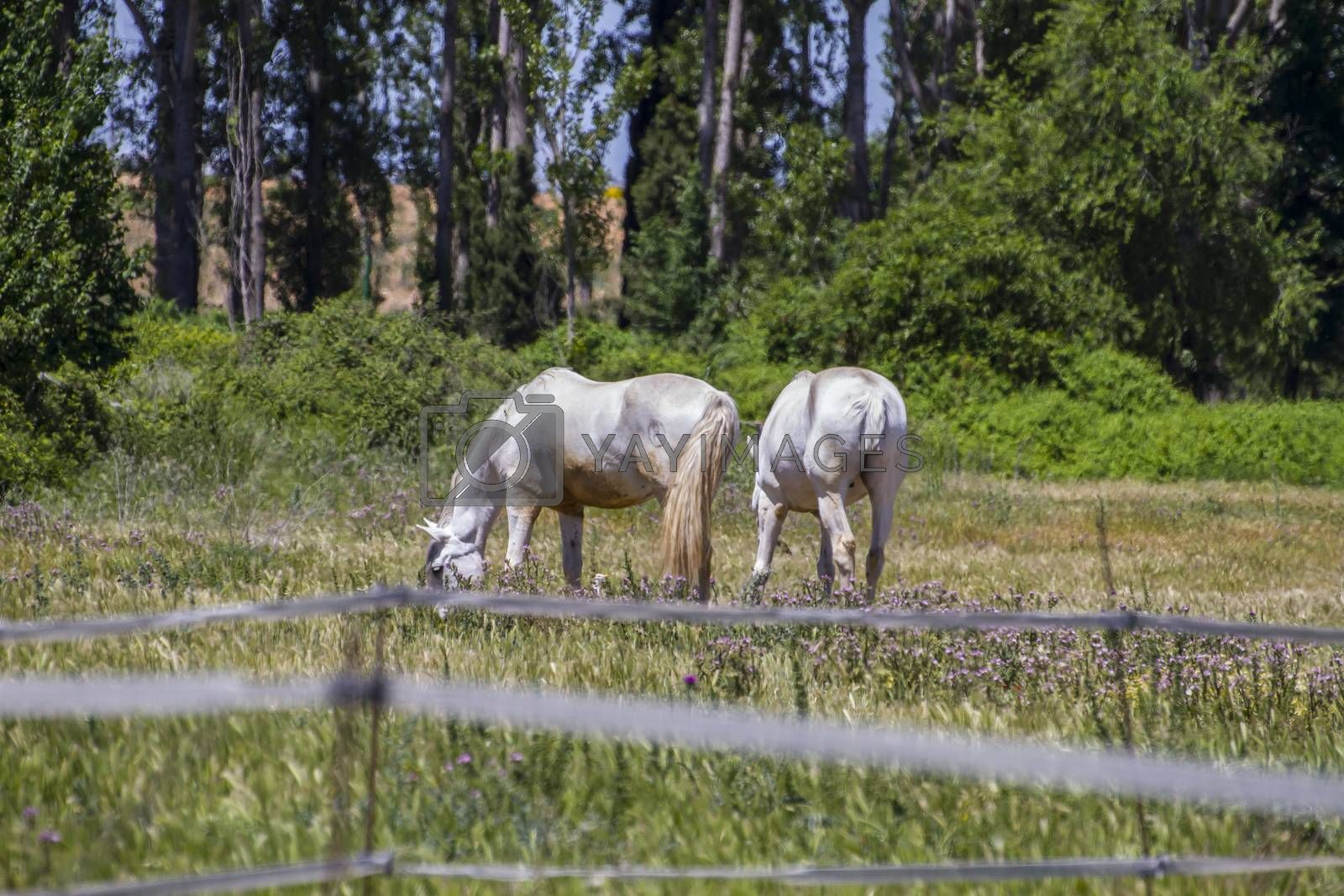 Royalty free image of group of horses grazing in a green pasture, spanish horses by FernandoCortes