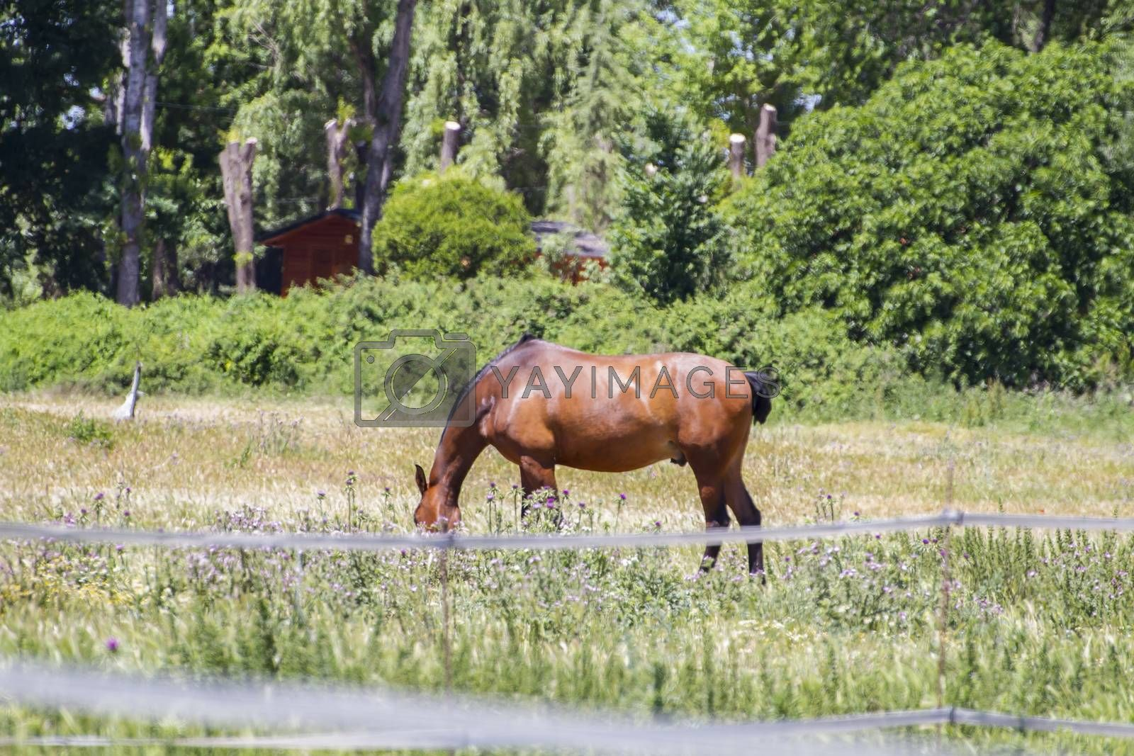 Royalty free image of brown horse grazing in a green pasture, spanish horses by FernandoCortes