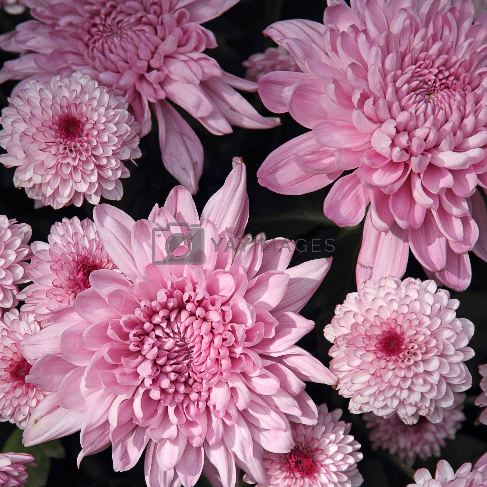 Royalty free image of Chrysanthemum flower by liewluck