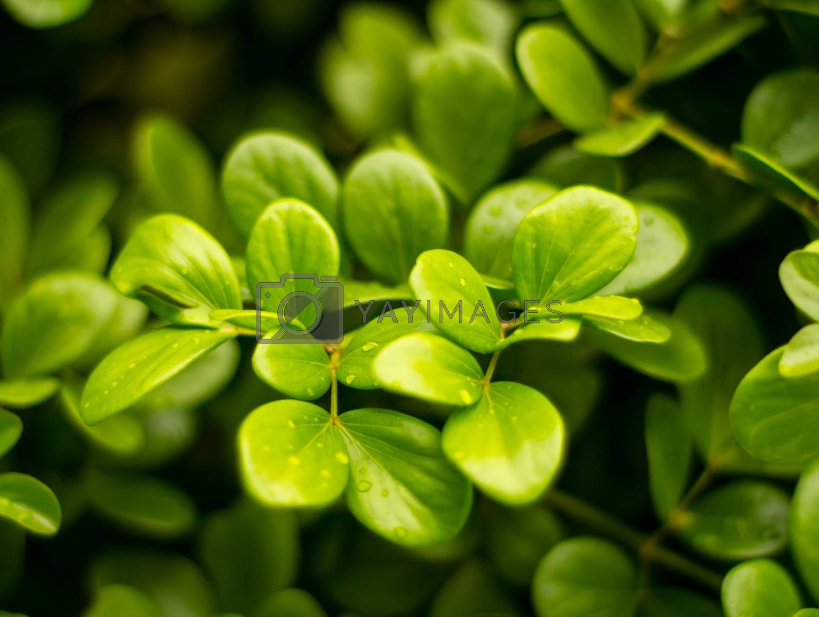 Royalty free image of Branch leaves by liewluck