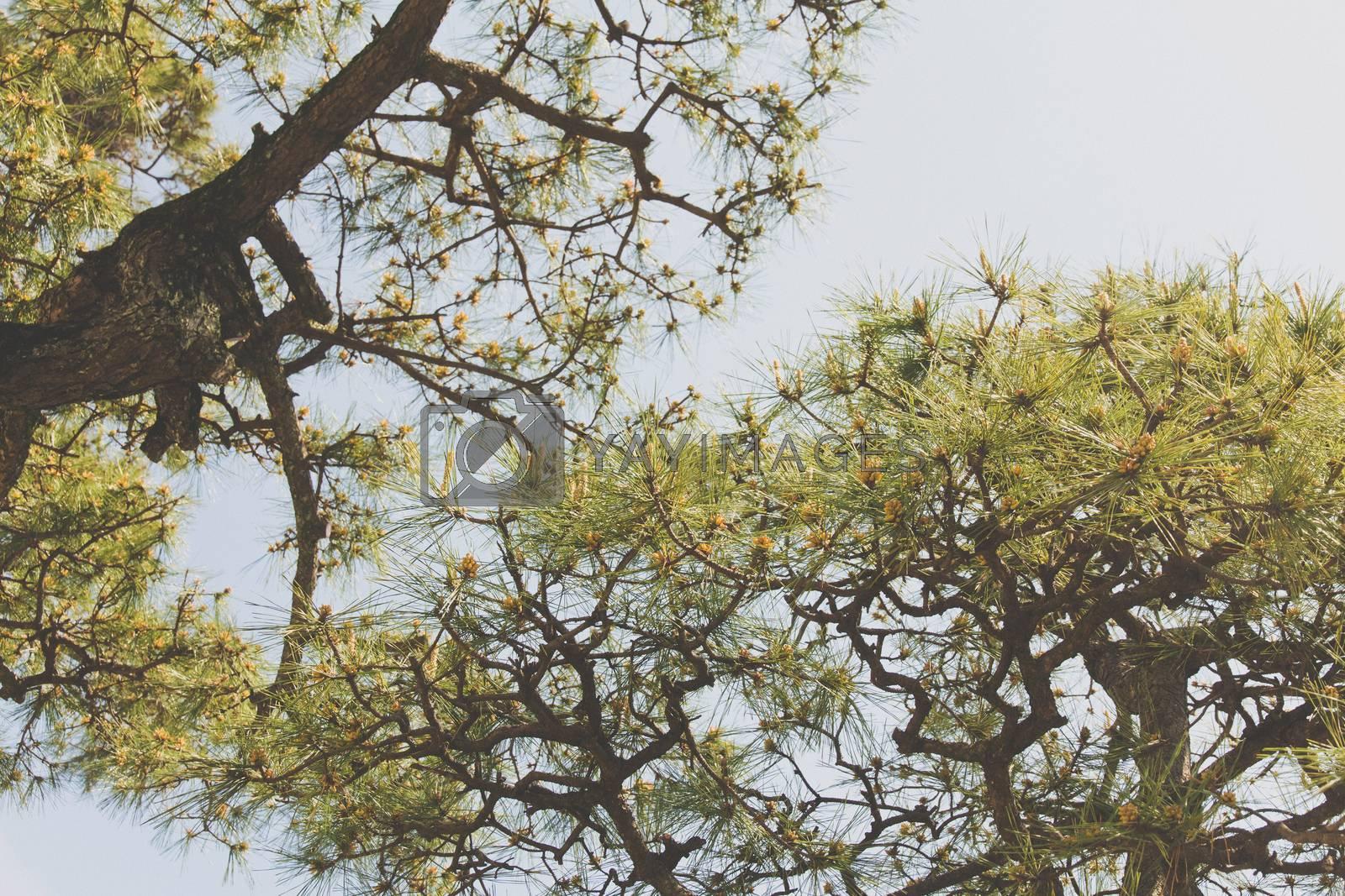 Royalty free image of Pine Matsu Tree in japan by ponsulak