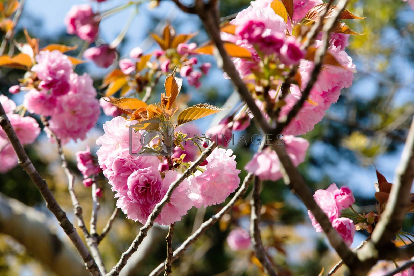 Royalty free image of Blooming double cherry blossom by ponsulak
