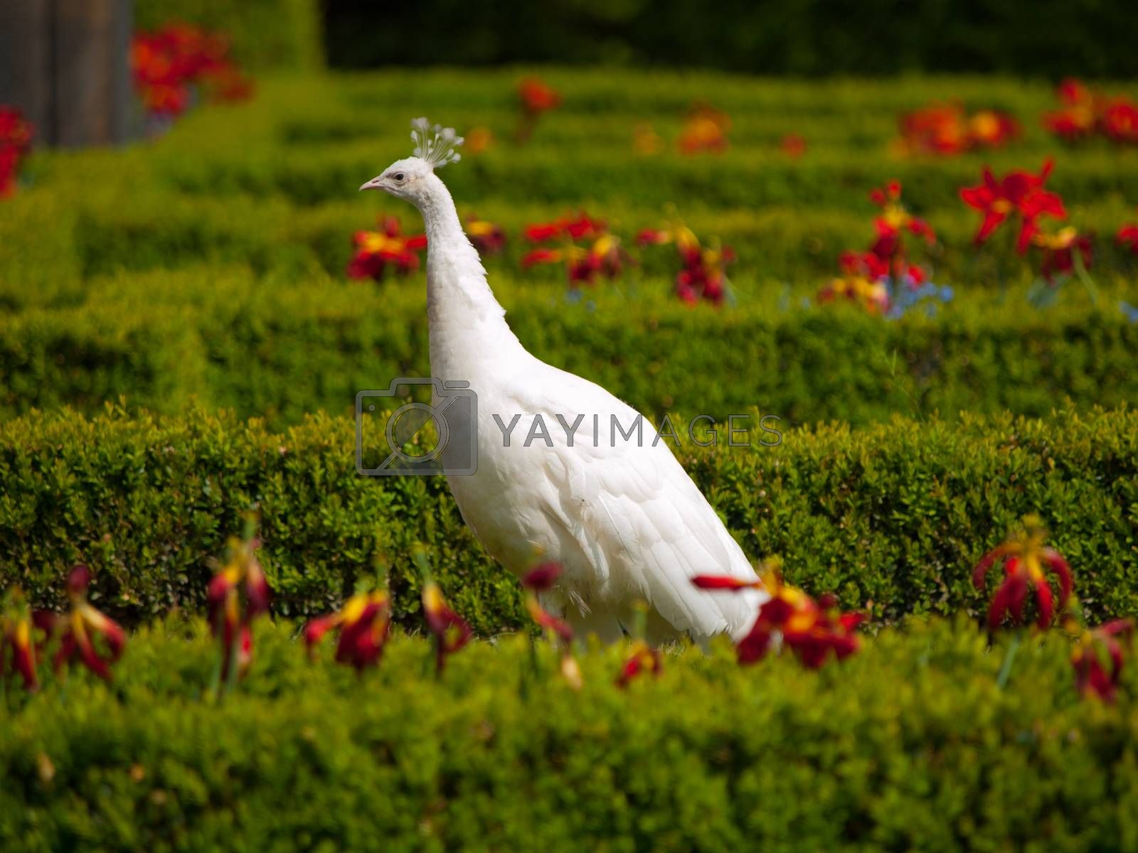 Royalty free image of White peacock by pyty