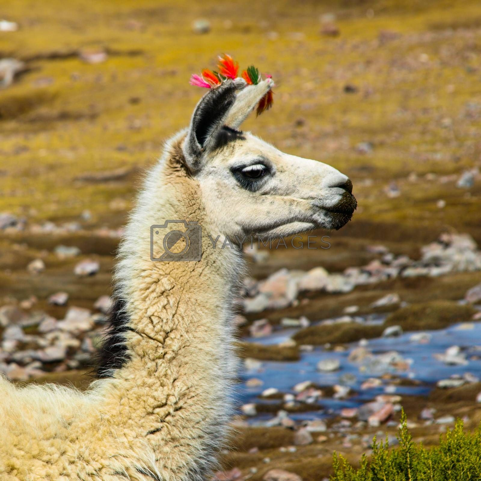 Royalty free image of Llama profile by pyty
