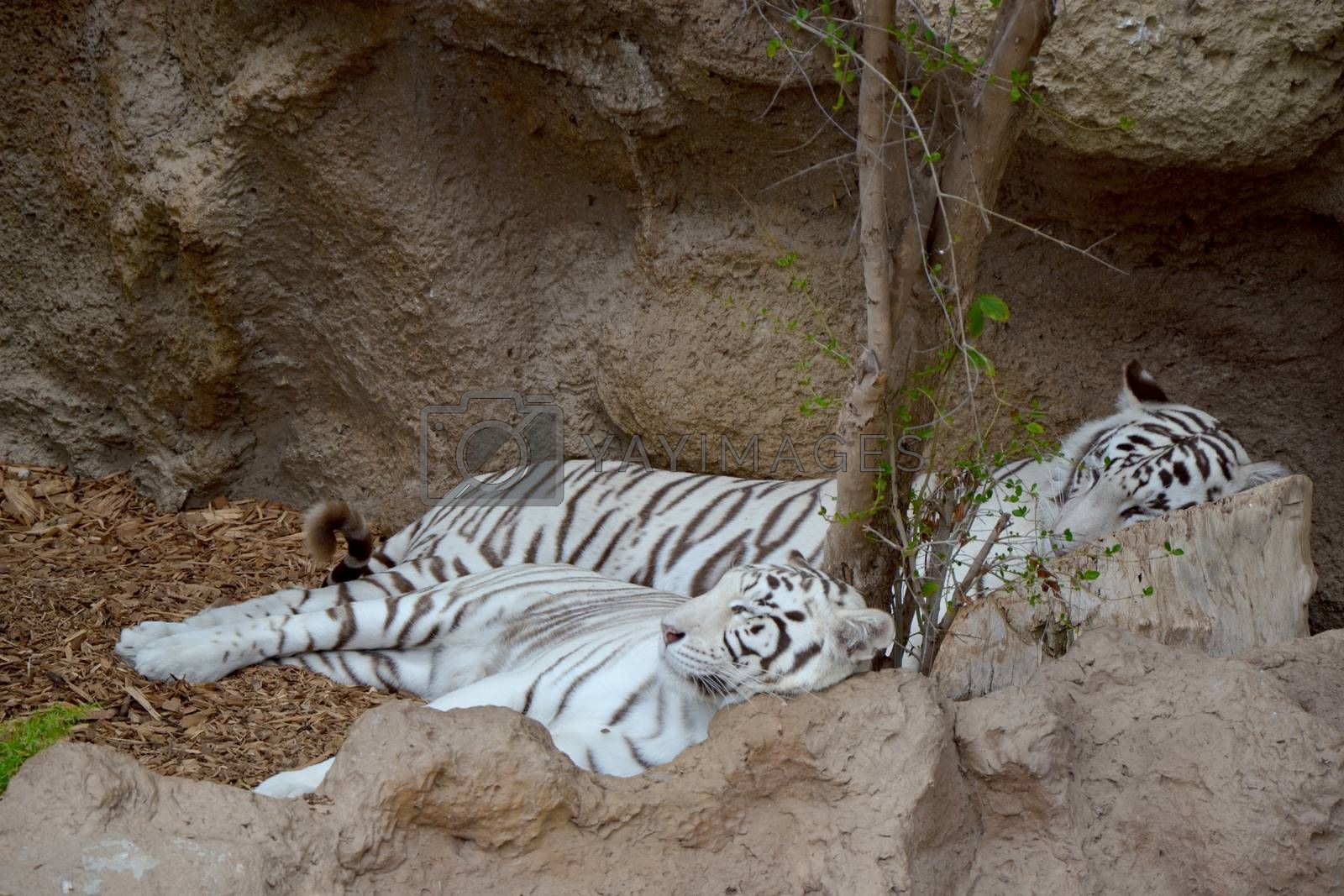 Royalty free image of White tigers by ruv86