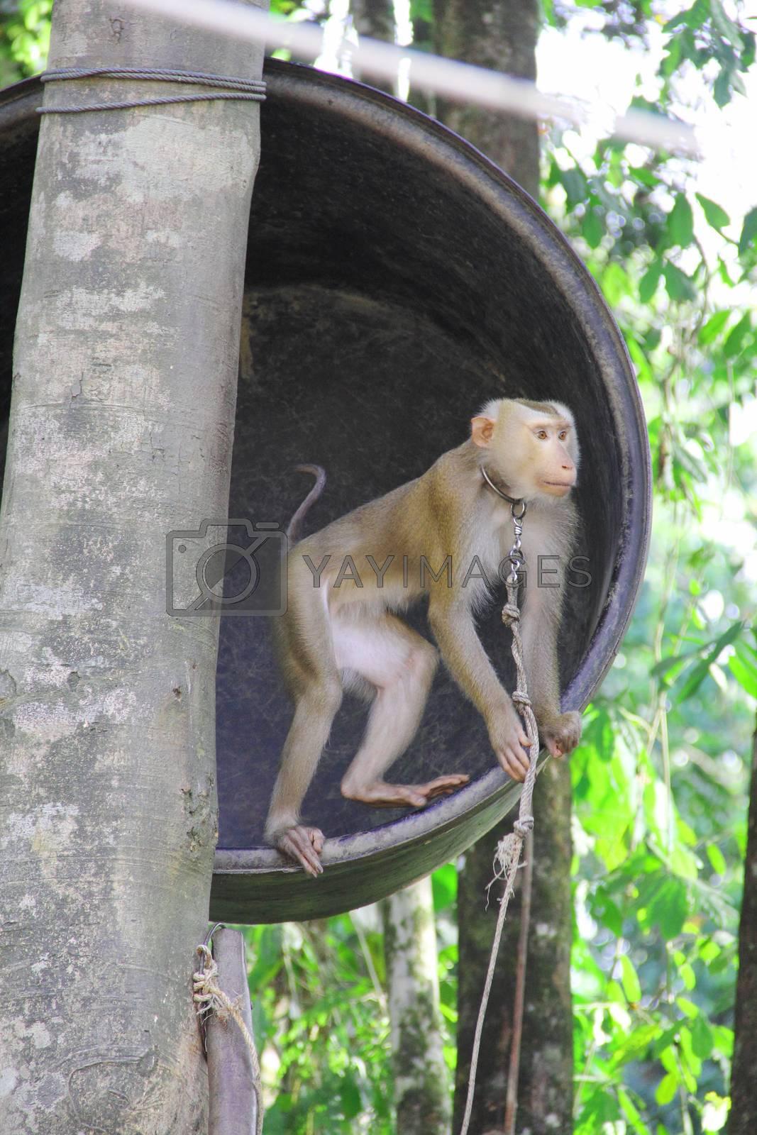 Royalty free image of Monkey on tree by destillat