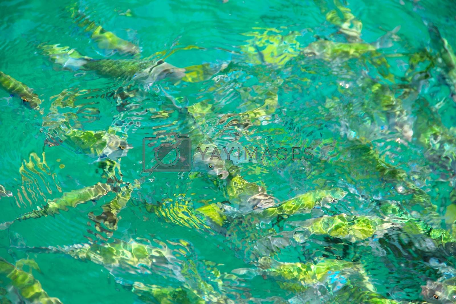 Royalty free image of Tropical Fish in water by destillat