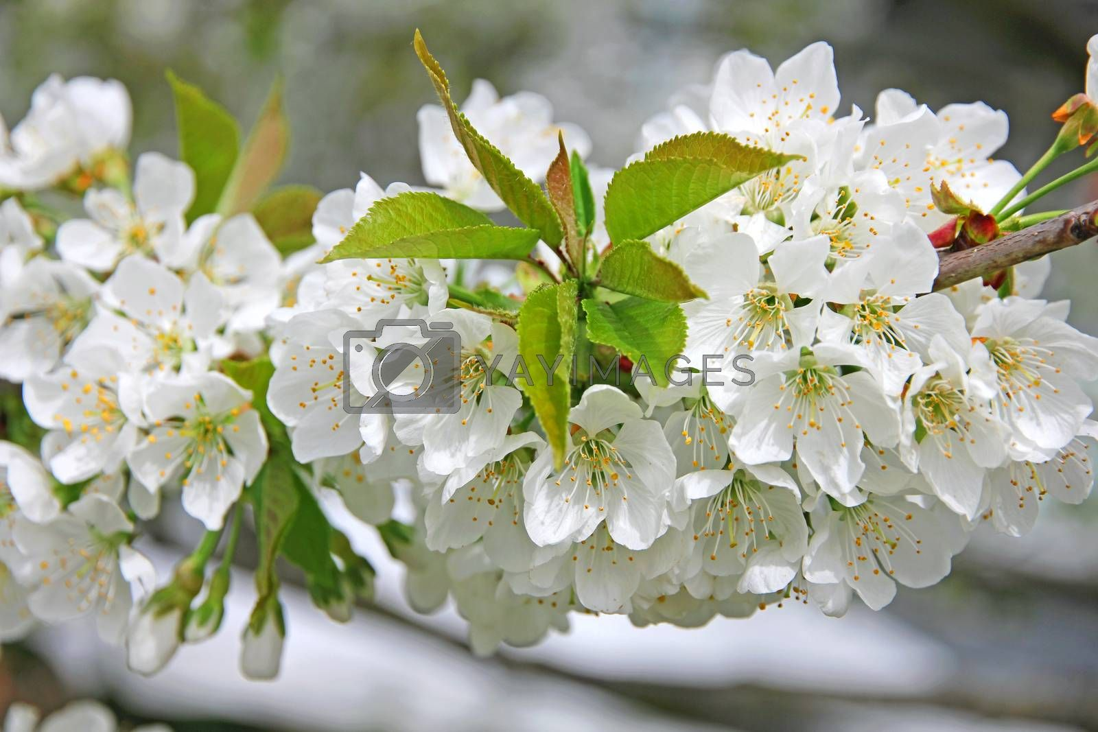 Royalty free image of Apple blossoms in spring  by oxanatravel