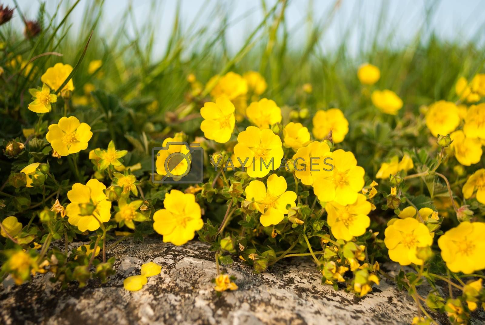 Royalty free image of little yellow flowers by Kayco