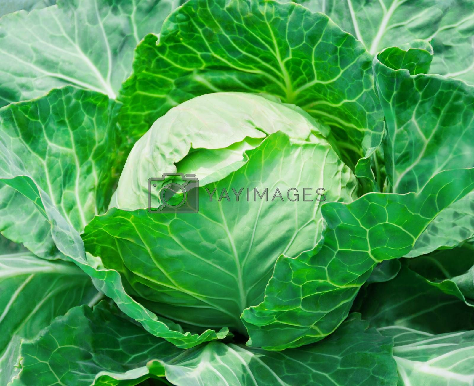 Royalty free image of close-up of fresh cabbage in the vegetable garden  by zeffss