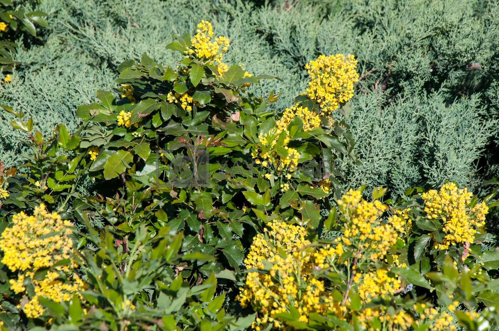 Royalty free image of Spring flowers mahonia. by 0608195706081957