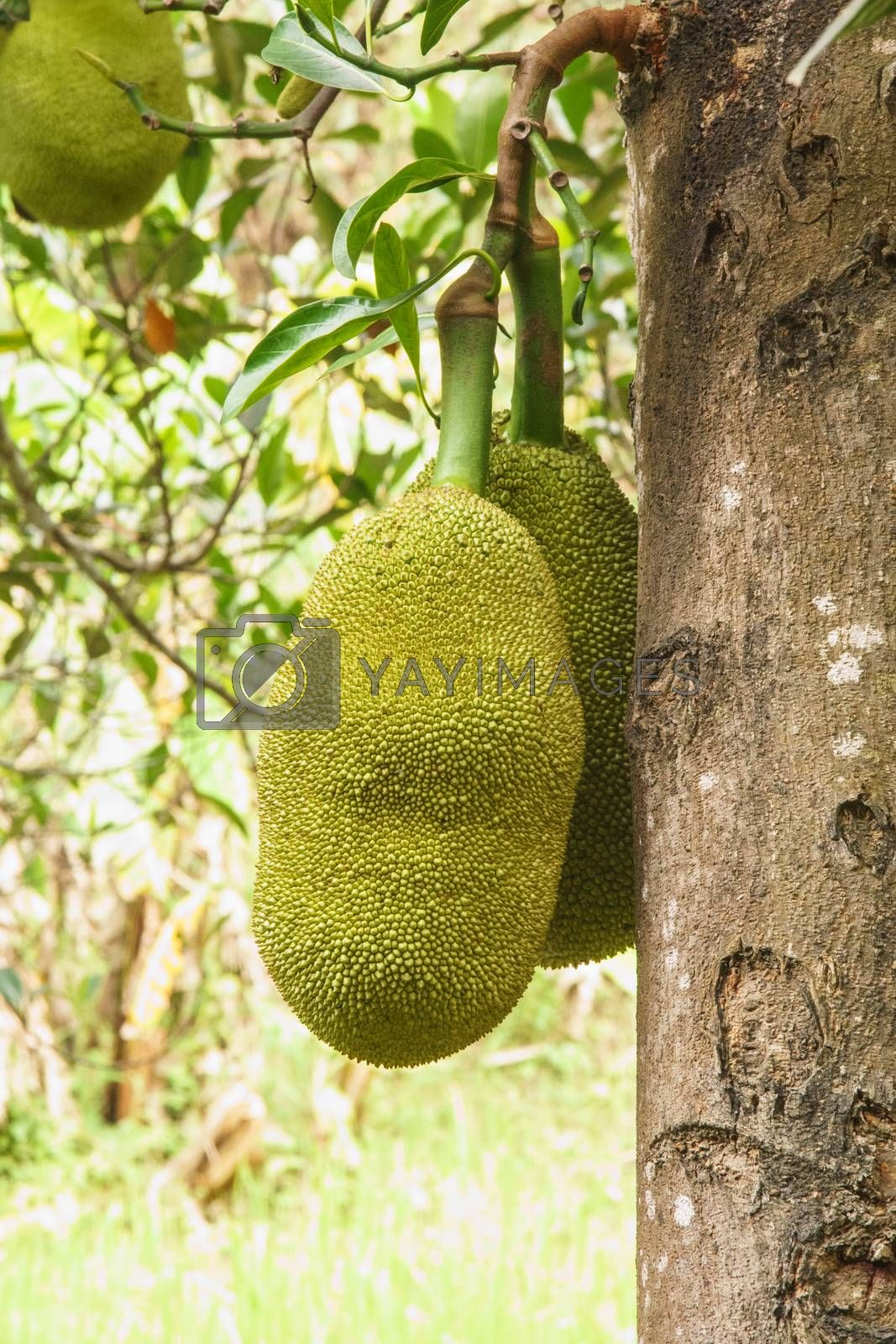 Royalty free image of jackfruit by nattapatt