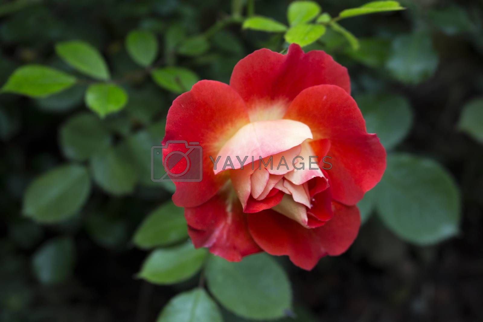 Red and white rose with deep green leaves