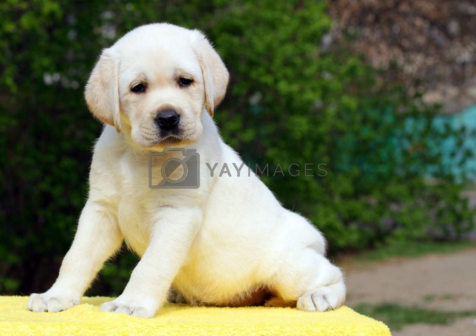 Royalty free image of labrador puppy on the yellow background by Yarvet