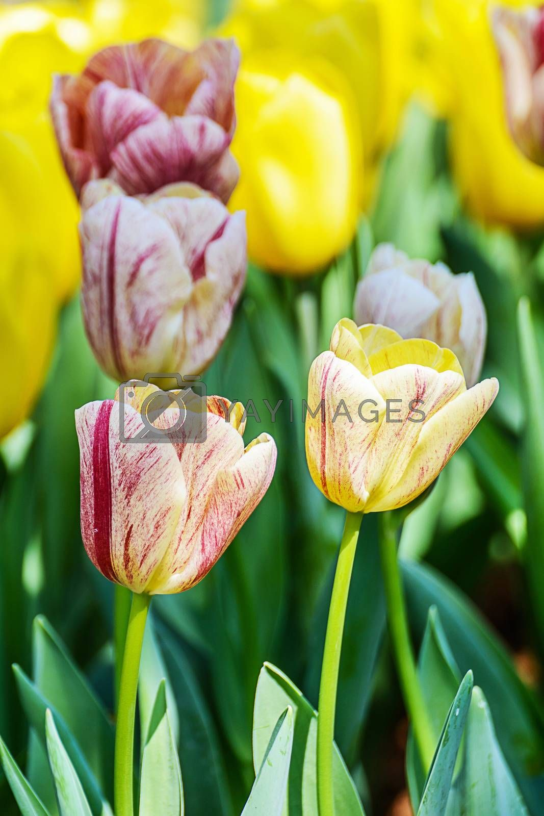 Royalty free image of Tulips by NuwatPhoto