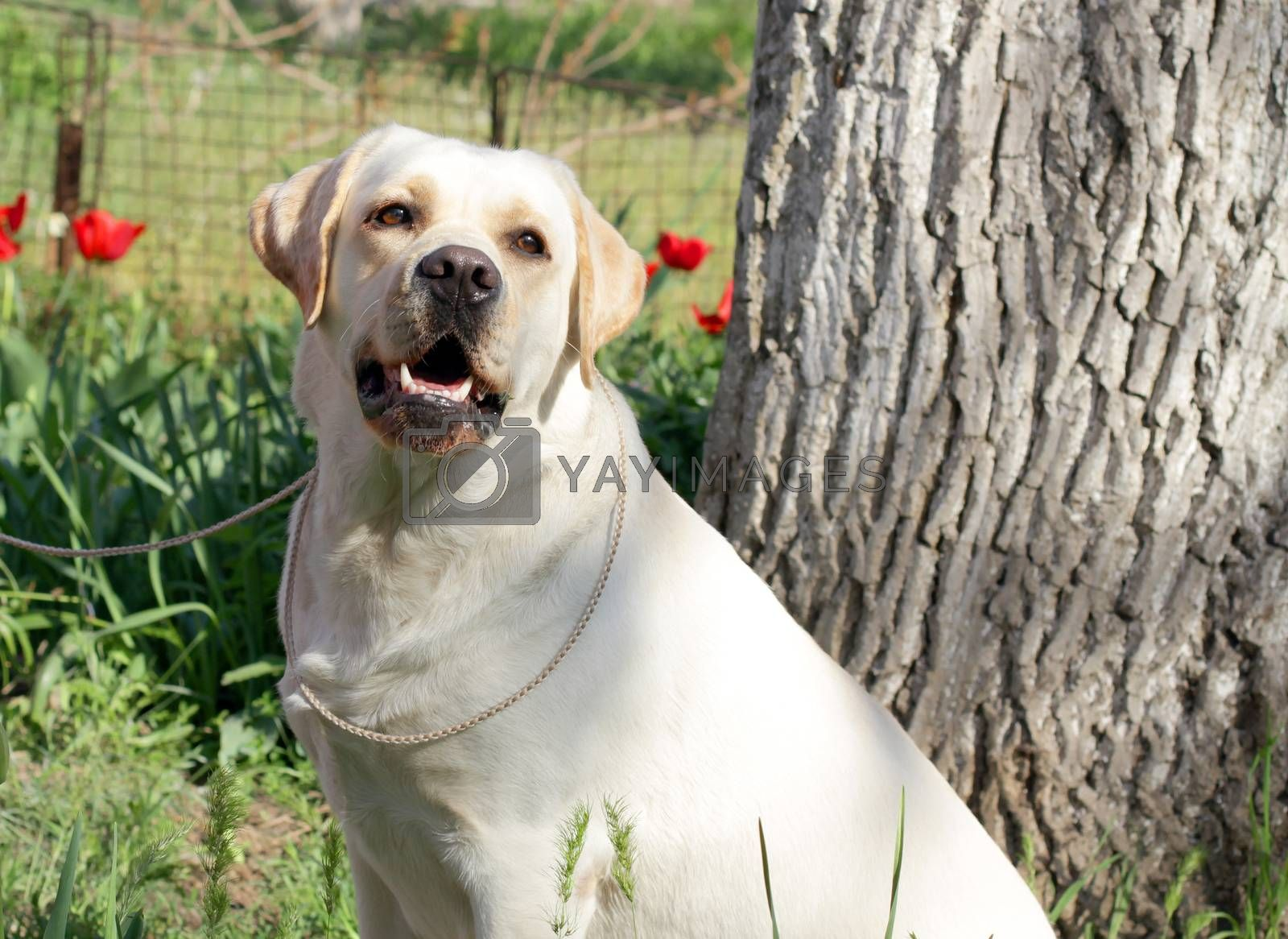 Royalty free image of yellow labrador in spring by Yarvet