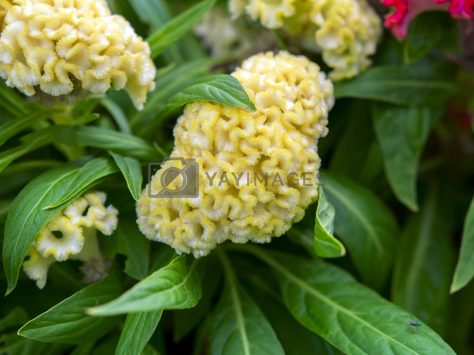 Royalty free image of Yellow Toreador. by GNNick