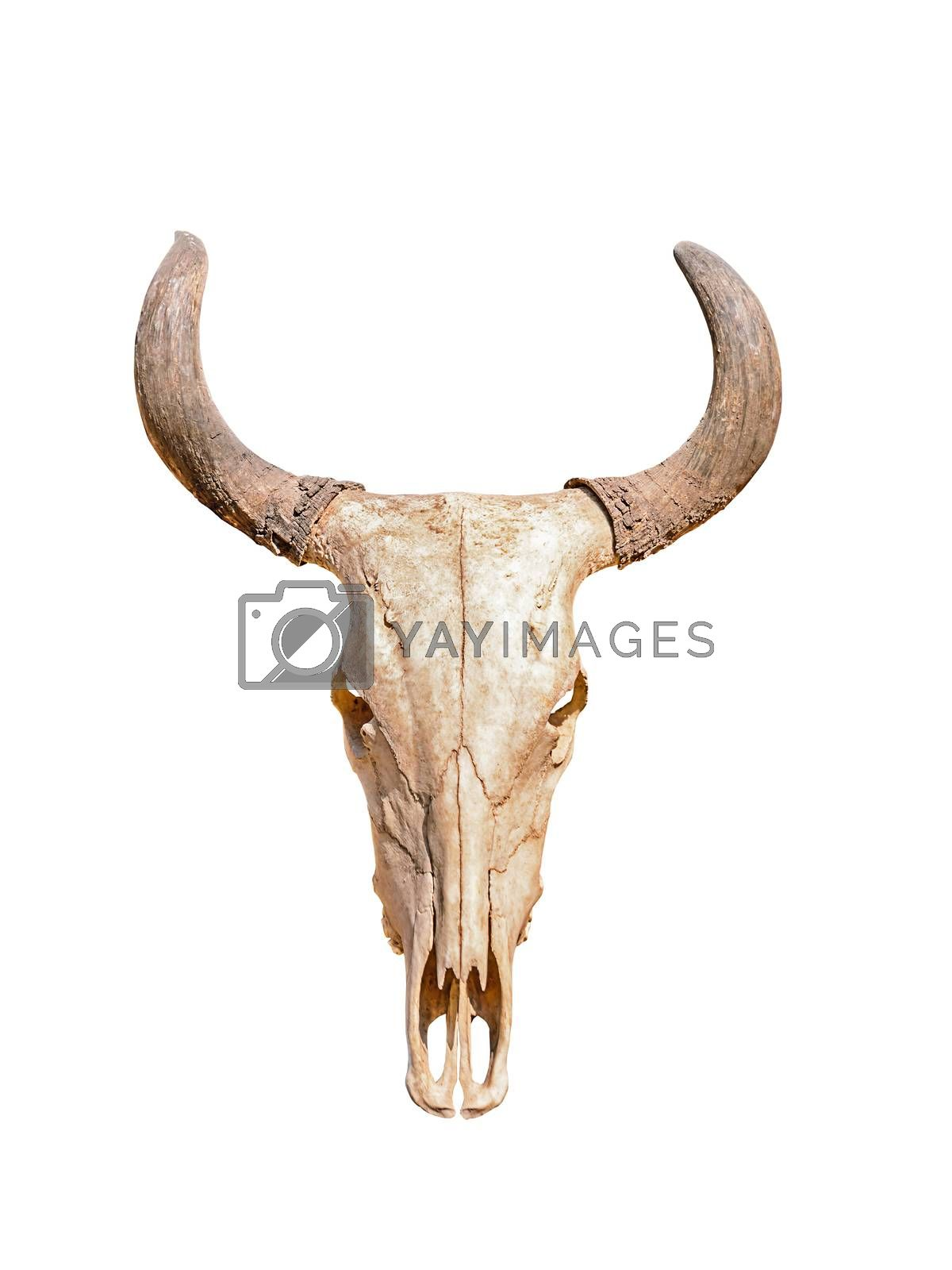 Royalty free image of Head skull of bull by NuwatPhoto