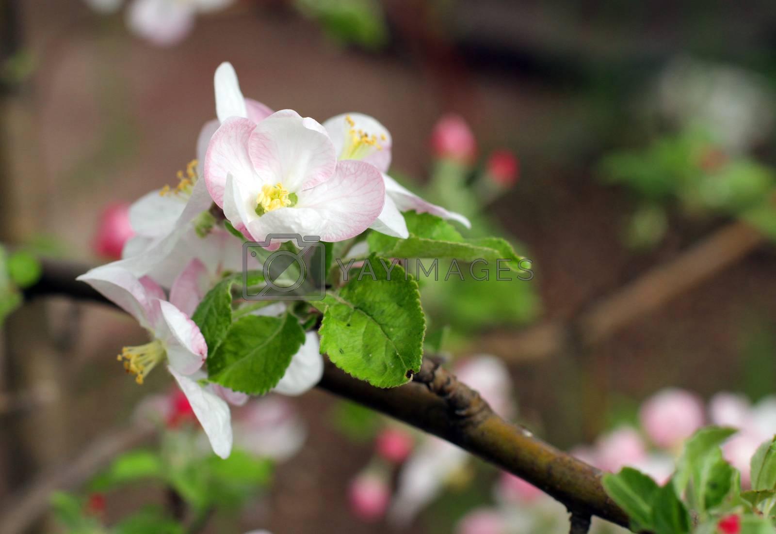 Royalty free image of Blooming apple-tree by Yarvet
