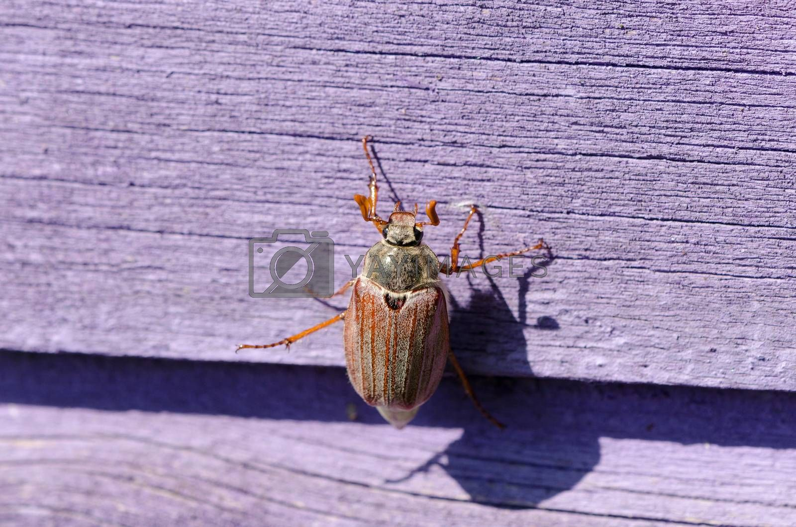 Royalty free image of dor chafer bug crawls on wooden purple surface  by sauletas
