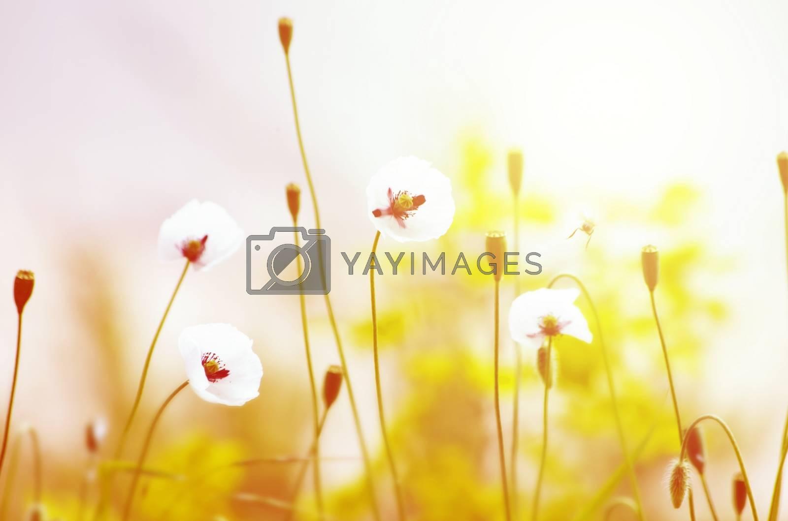 Royalty free image of Poppy Flower by razvodovska