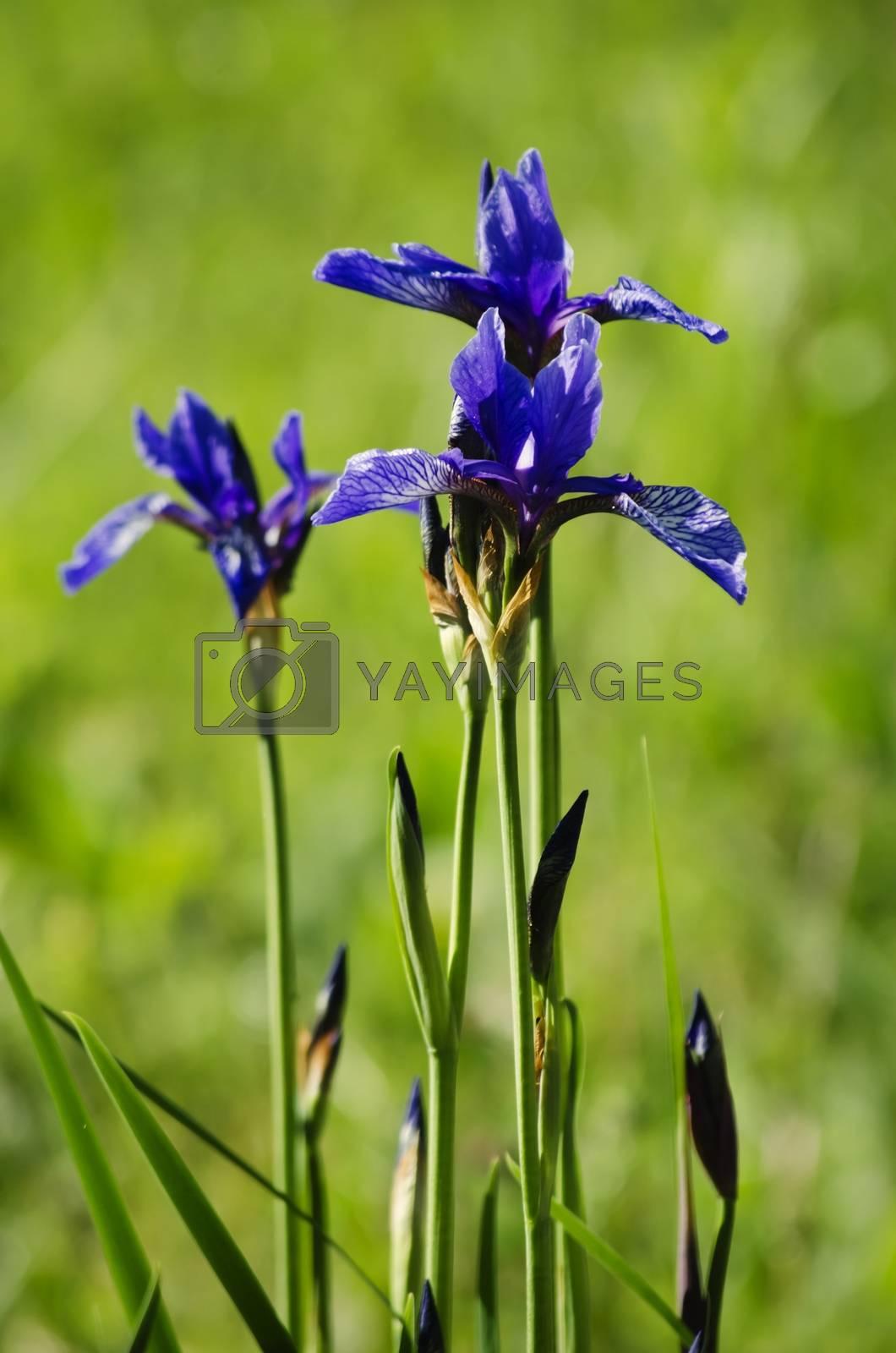 Royalty free image of Iris Flower by razvodovska