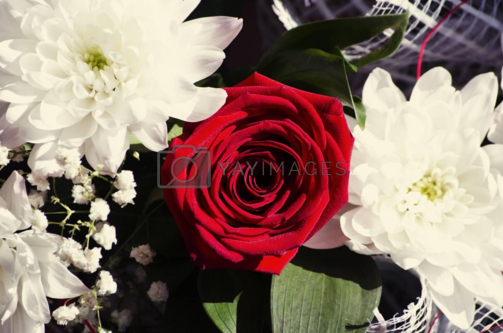 Royalty free image of Red Rose by razvodovska