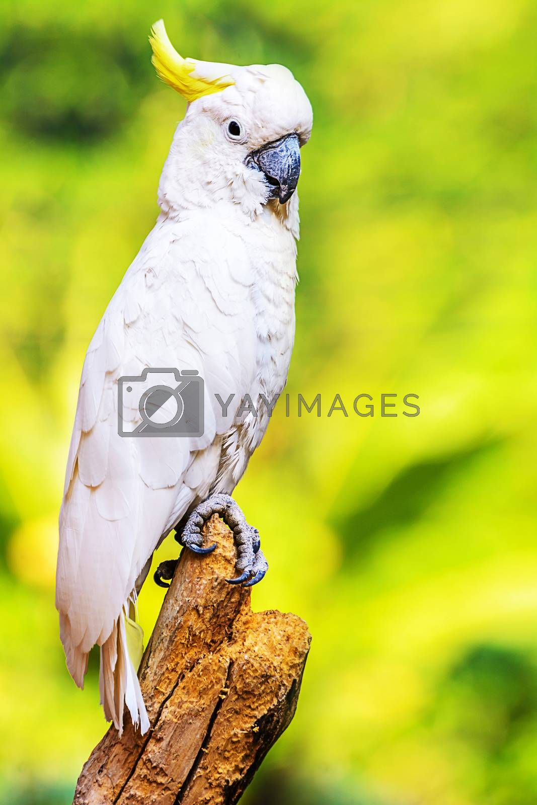 Royalty free image of Yellow Crested Cockatoo by NuwatPhoto