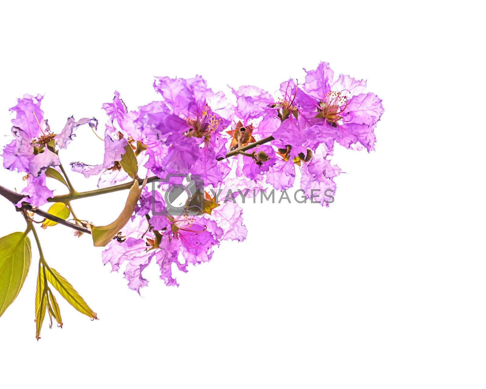 Royalty free image of Inthanin flowers by NuwatPhoto