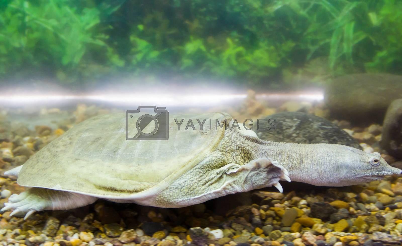 Royalty free image of Chinese turtle by Irinavk
