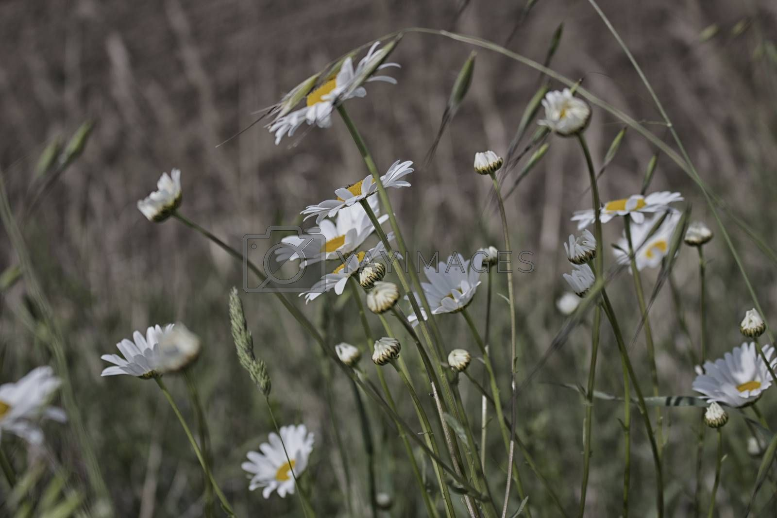Daisies macro: bellis perennis