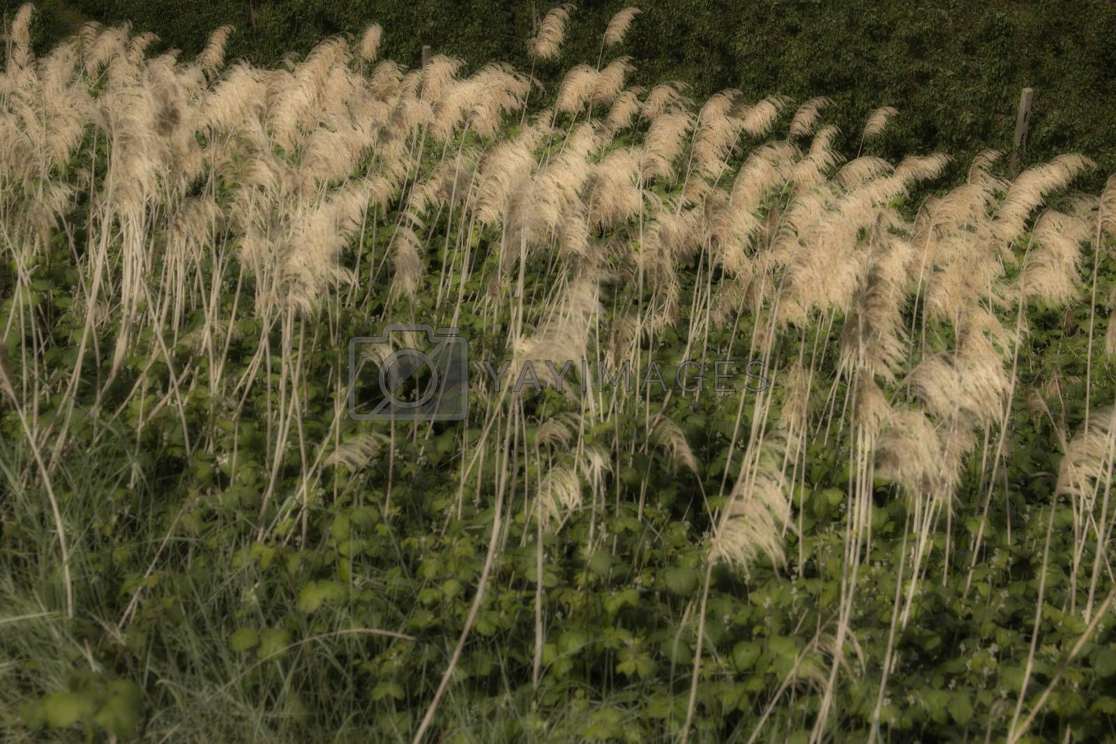 Green weeds and giant canes  in Italian countryside