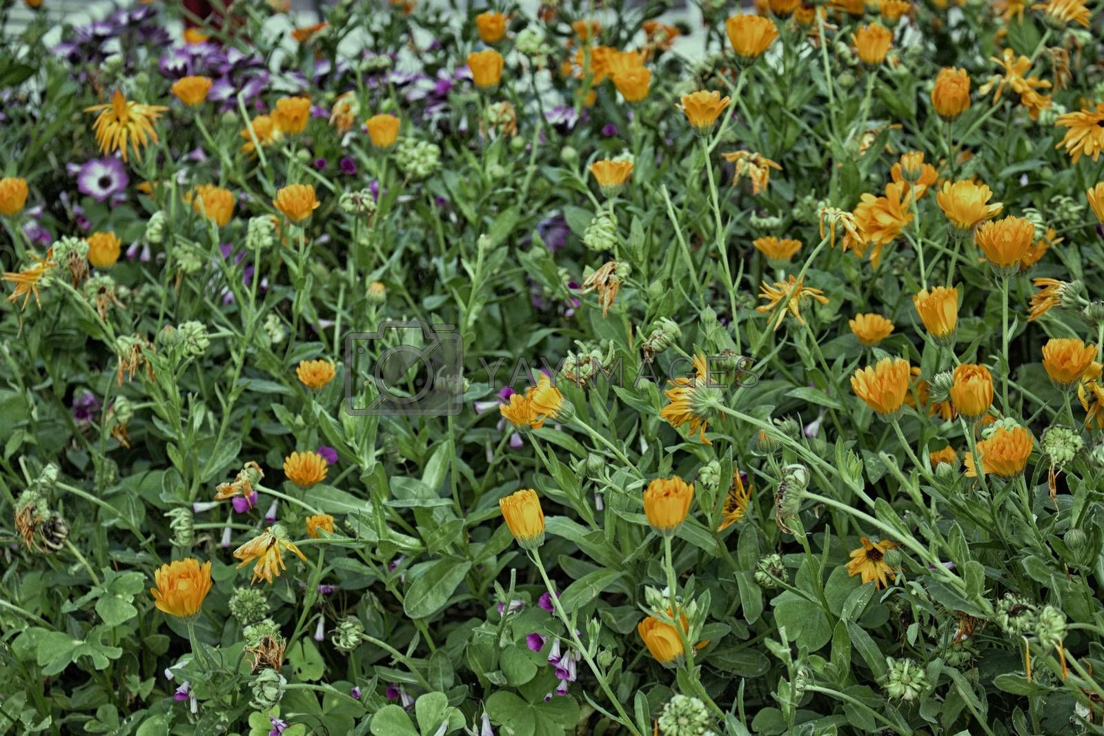 Green weeds and orange flowers background in Italian countryside