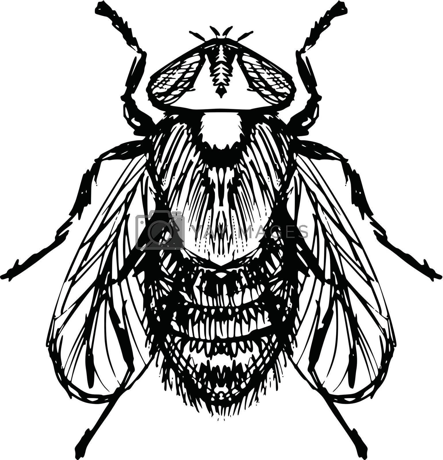 hand drawn, sketch, cartoon illustration of fly
