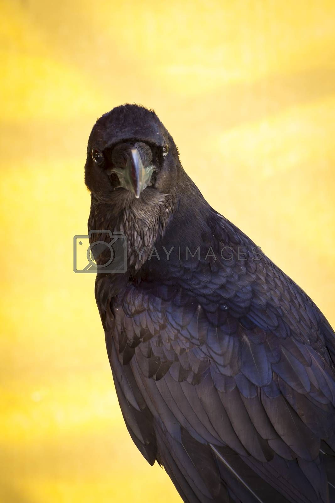 Corvus, black crow in a sample of birds of prey, medieval fair