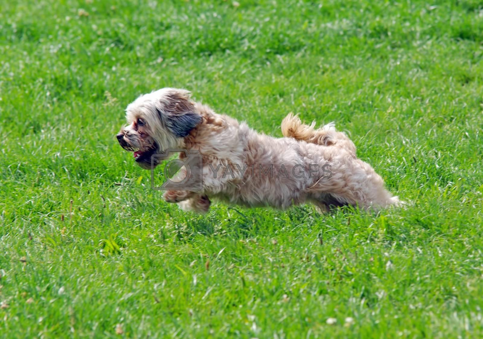 Lovely bichon dog running on the grass.