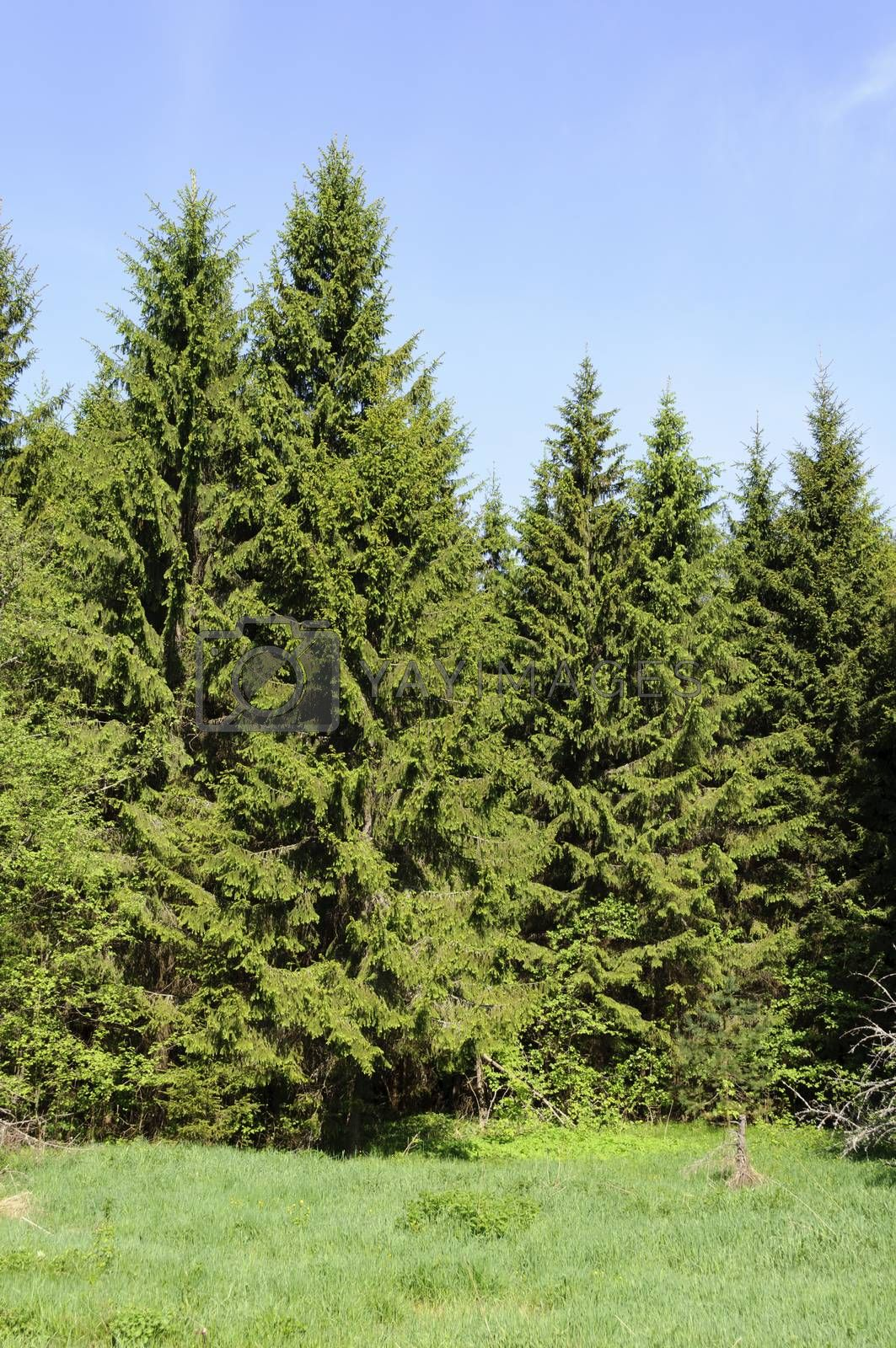 Spruce forest in the morning, spring time