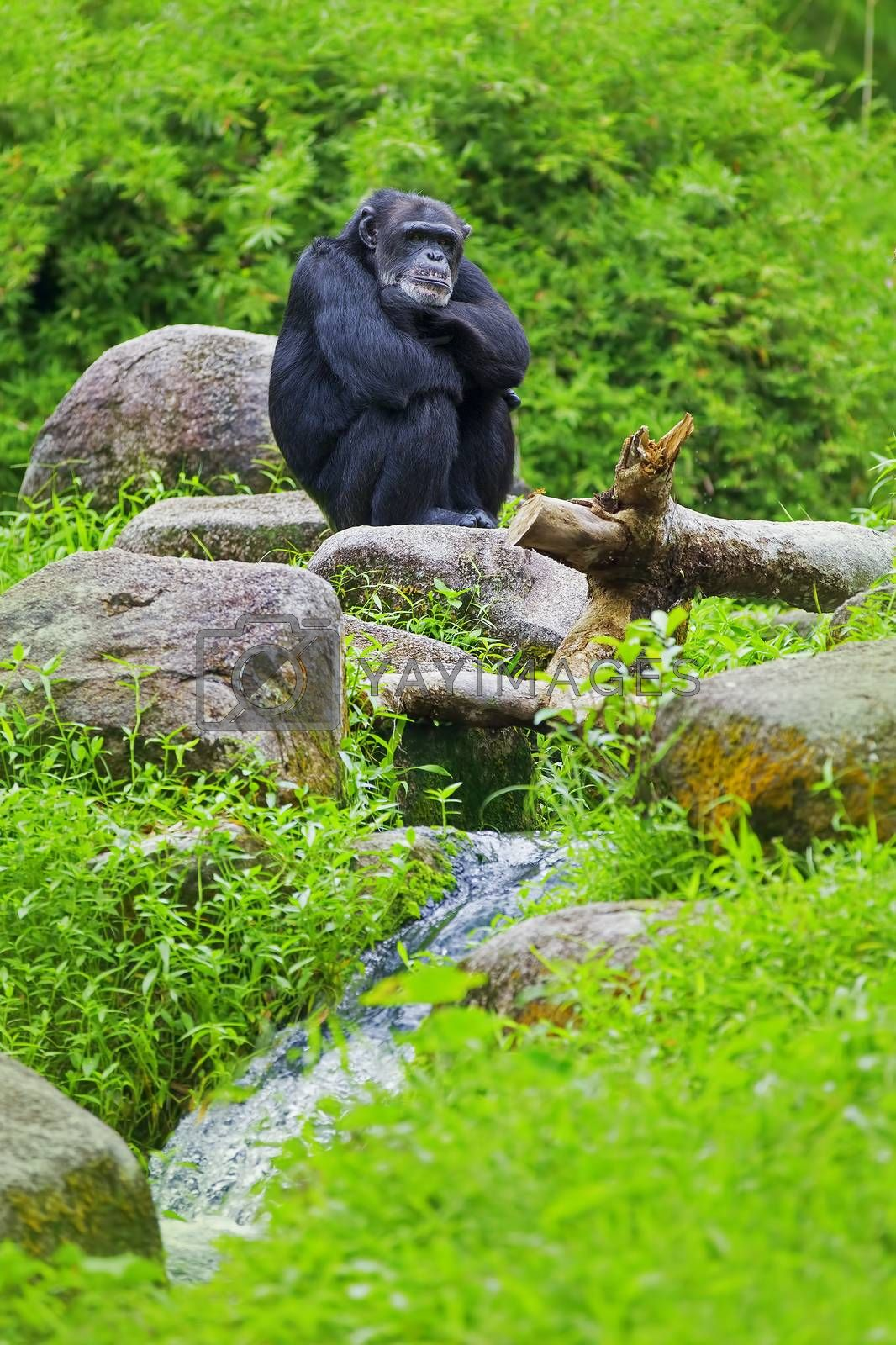 Common Chimpanzee sitting next to a river in the wild