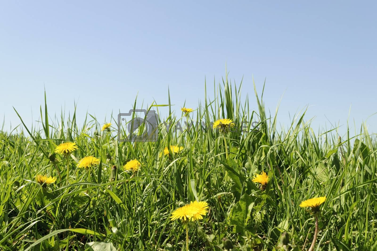 Flowering yellow dandelions in green grass on blue sky background