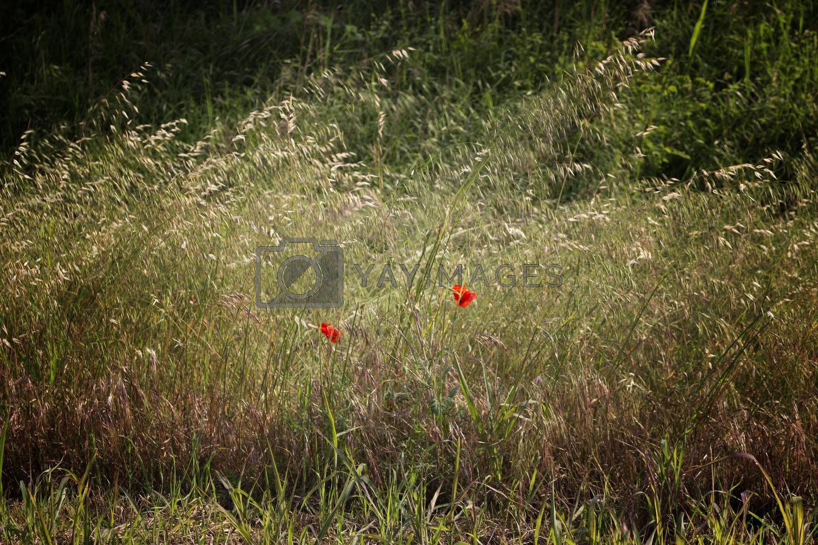 Red poppies on green weeds field in Italian countryside