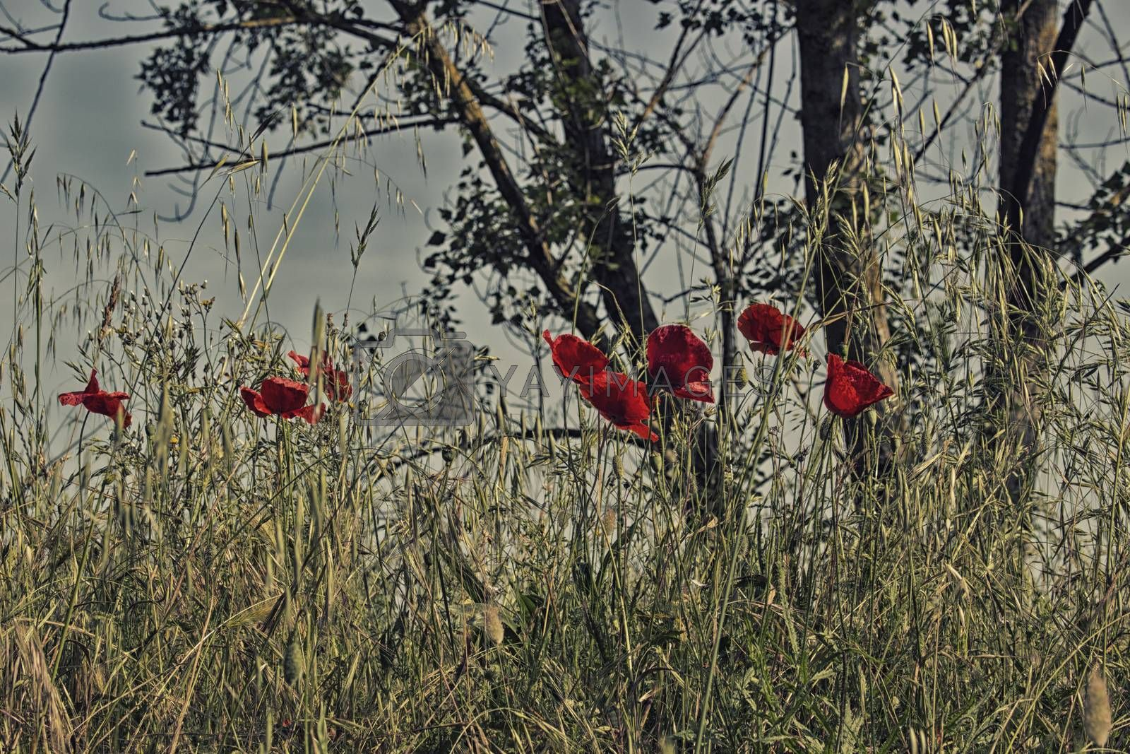 Red poppies on green weeds fields during spring in Italian countryside