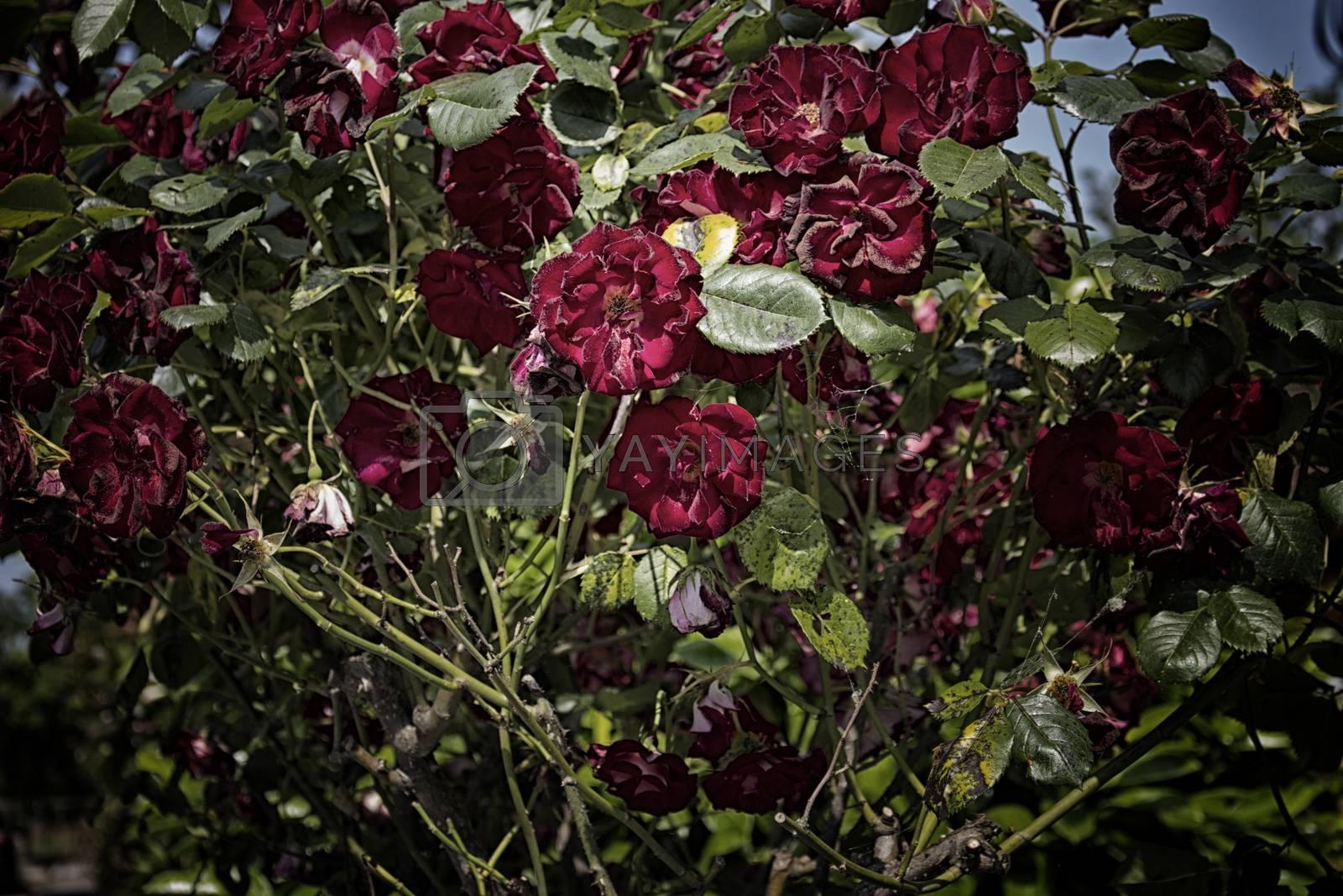 Red roses in Italian garden