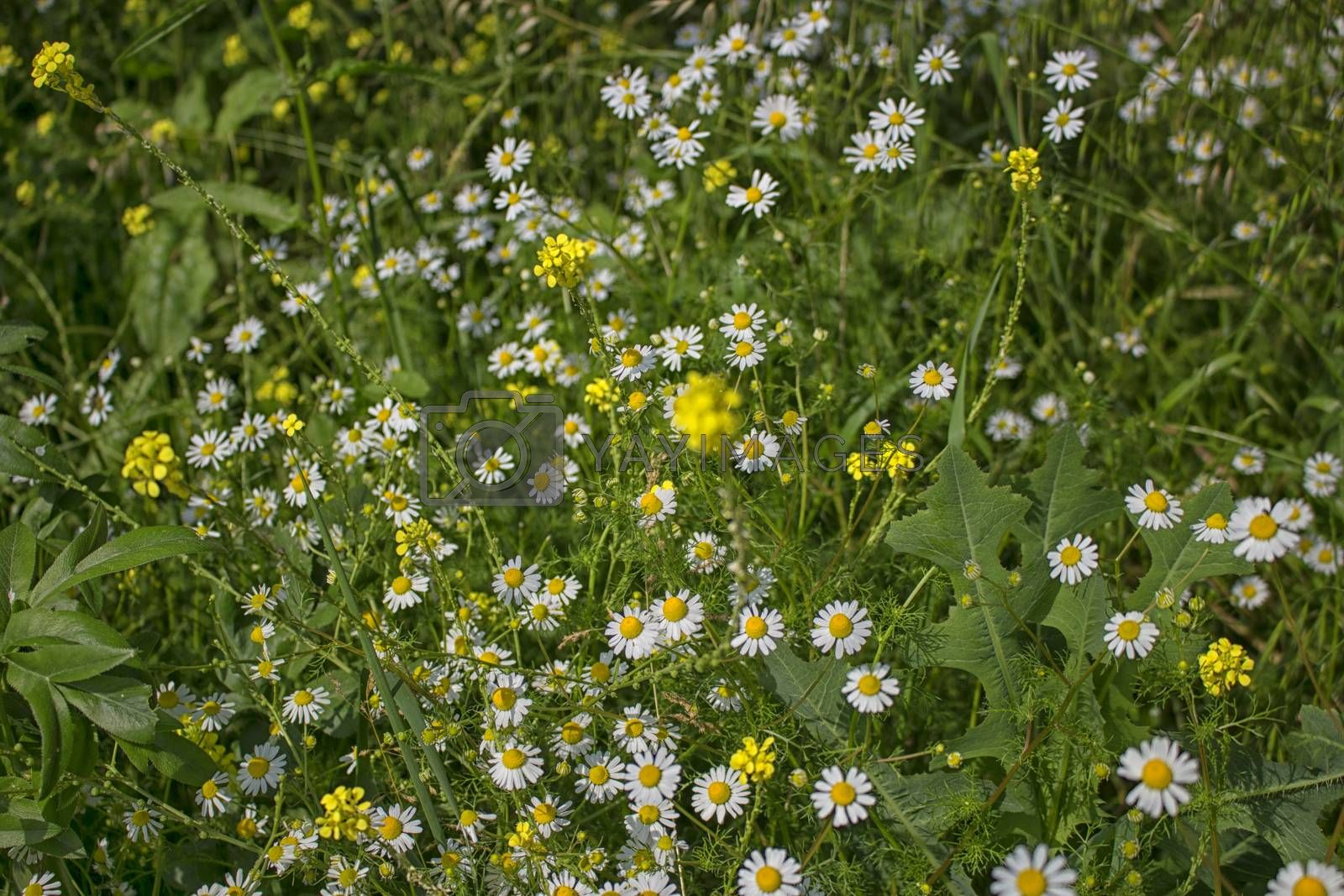 Daisies macro: bellis perennis group and yellow flowers on brown ground