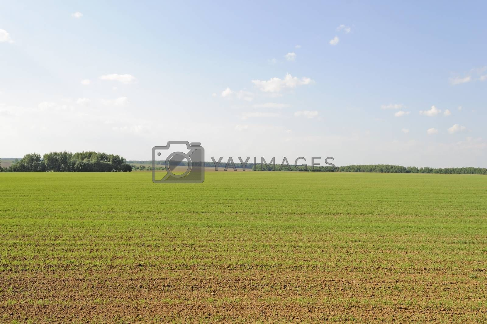 Green shoots of wheat on a farm field