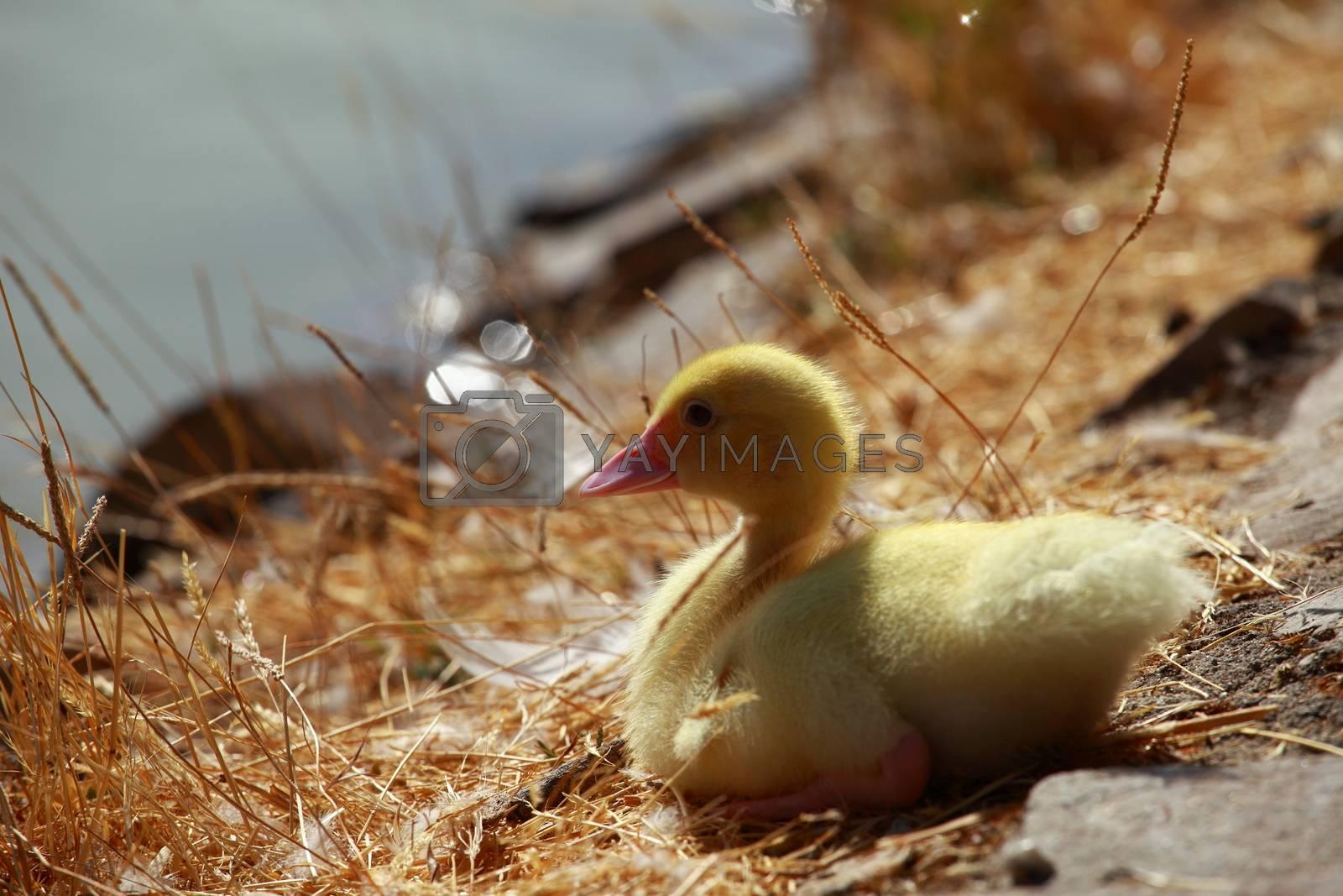 Mallard duck and baby ducklings  by Mariusz Prusaczyk