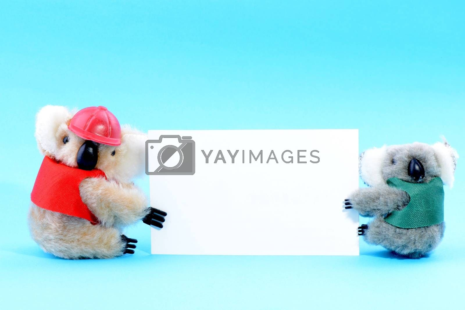 Two toy koala holding a blank white card on a blue background