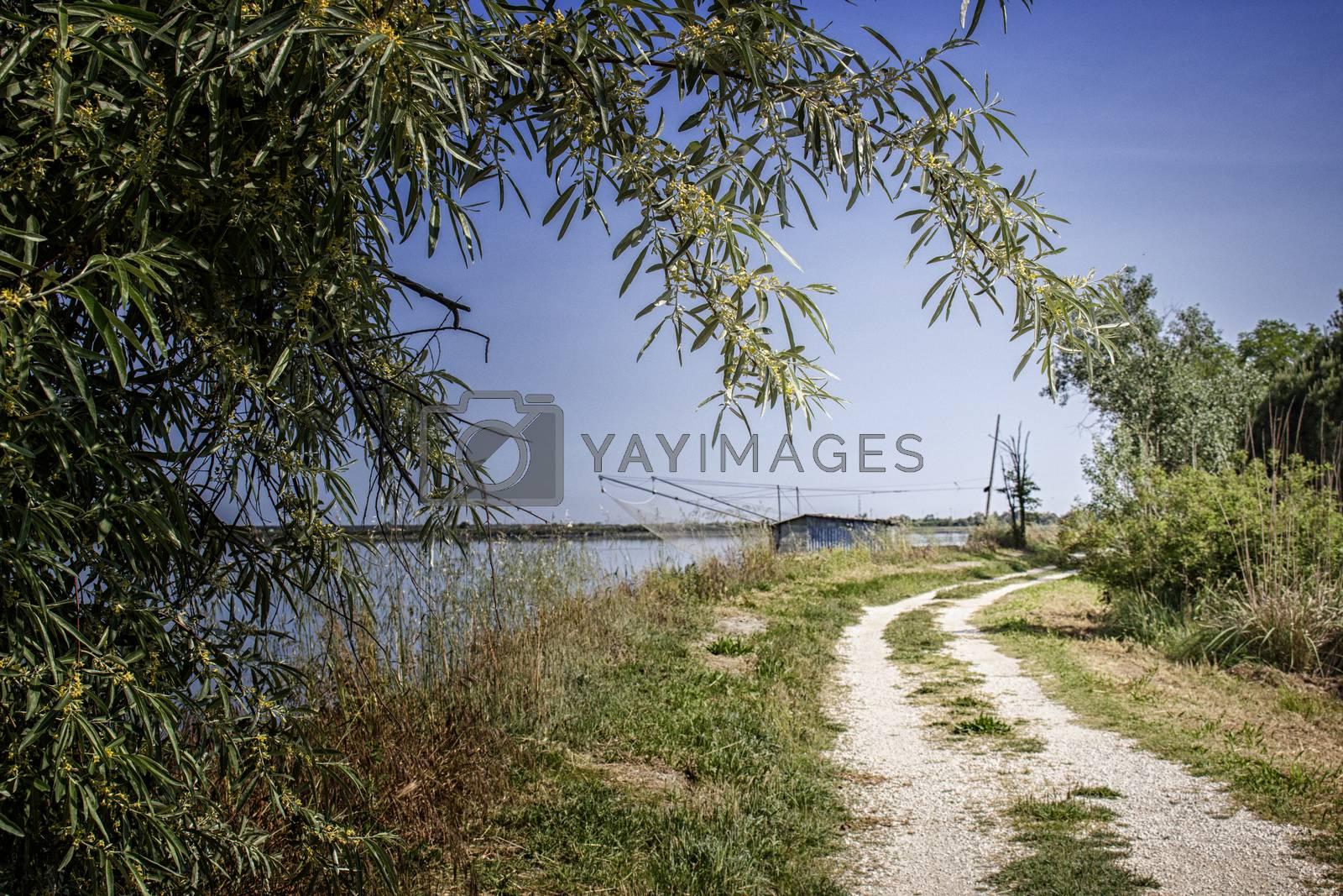 walking in the pinewood forest on the Pialassa della Baiona brackish lagoon near Marina Romea along te  Adriatic seaside in Ravenna (Italy)