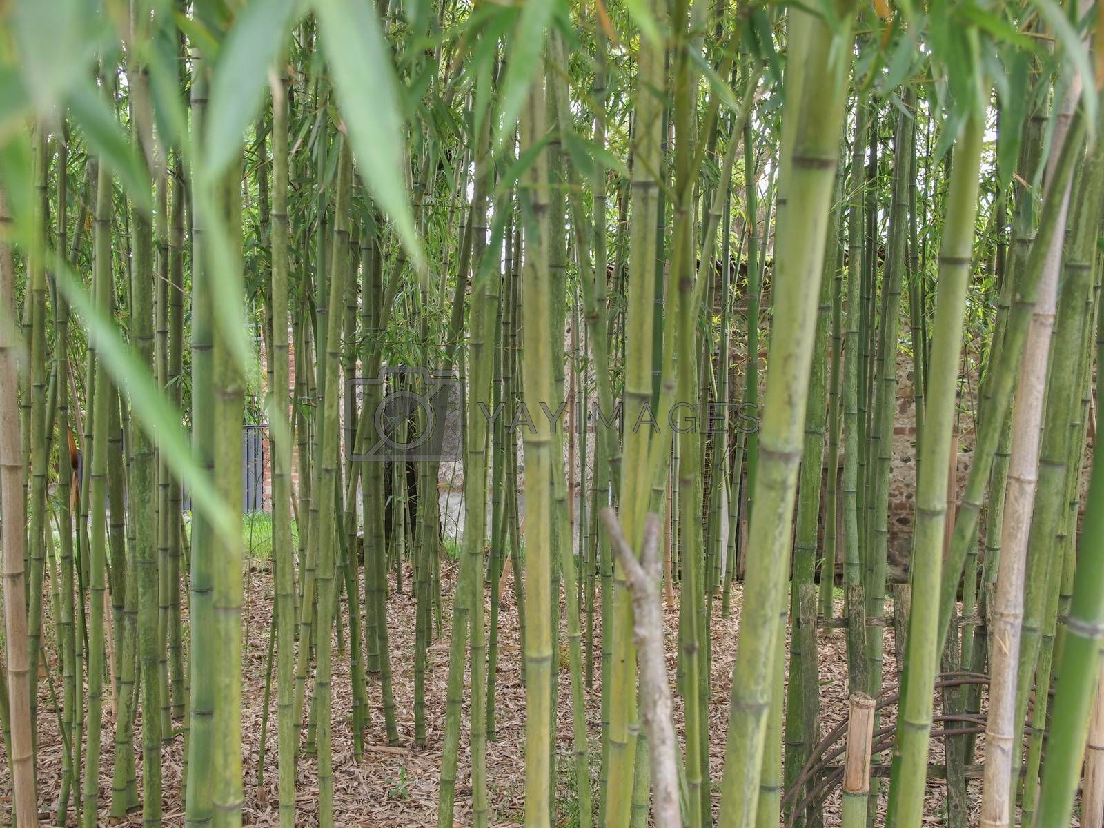 Bamboo flowering perennial evergreen plants in the grass family Poaceae